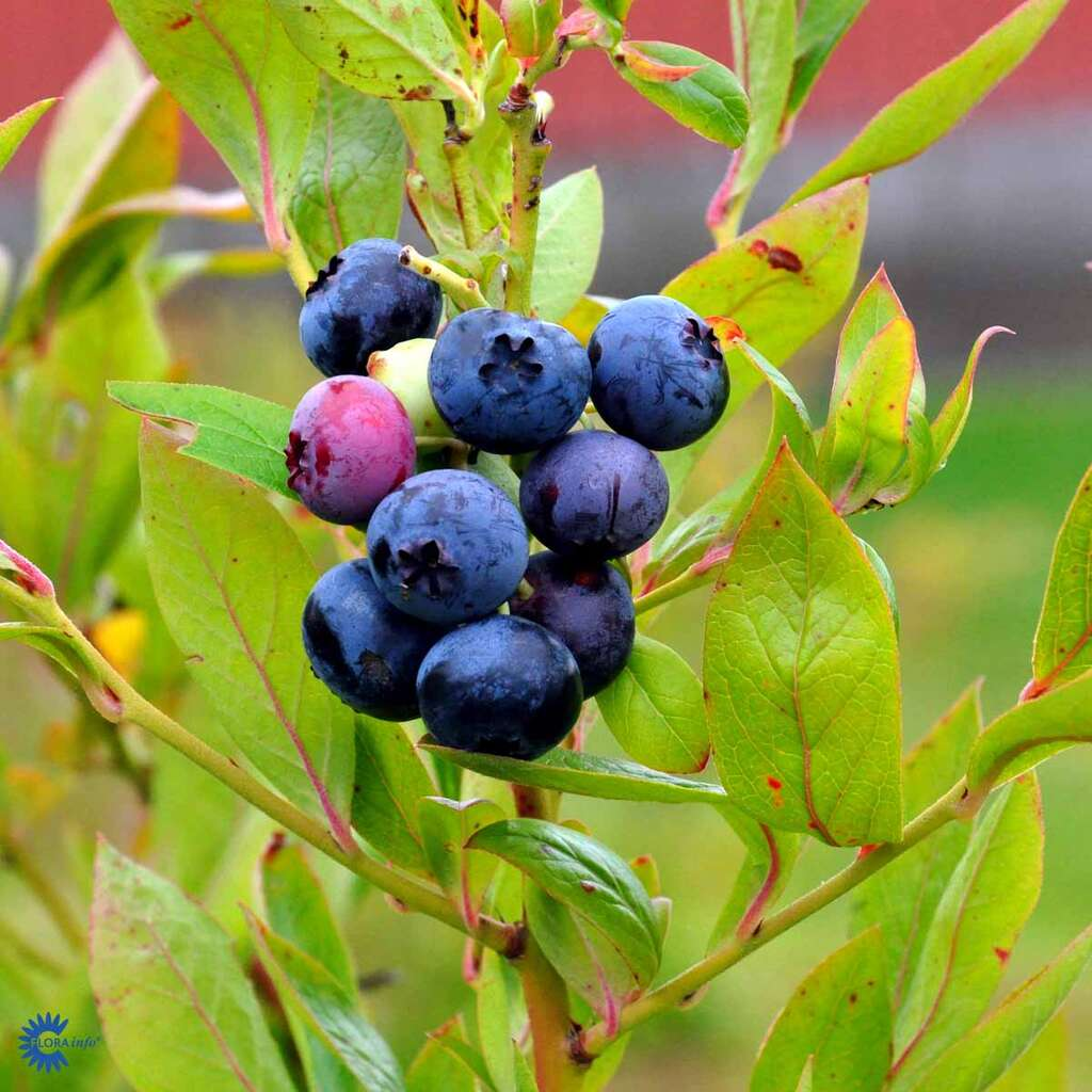 Blåbær, Vaccinium cor. 'Berkeley', 2 liter potte